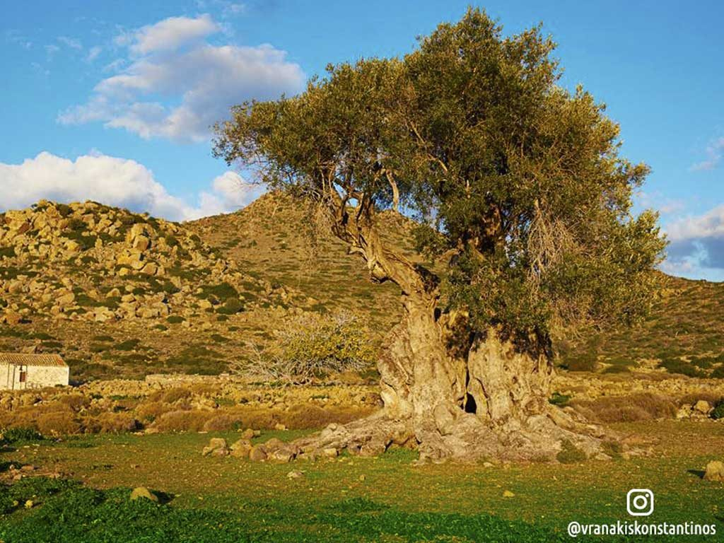 Arxaios-Elaiwnas-Aegina